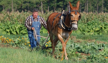 Plowing with Minnie the Mule