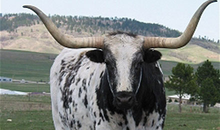 Longhorn Steer in Spearfish, South Dakota