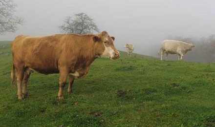Cattle in the Appalachian Highlands