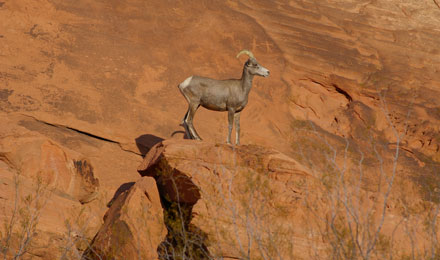 Bighorn Sheep in Valley of Fire State Park