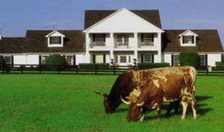 Longhorn Cattle at Southfork Ranch in Parker,Texas