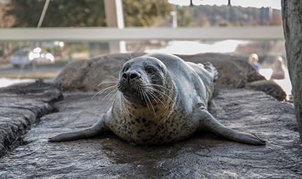 Piper the Seal